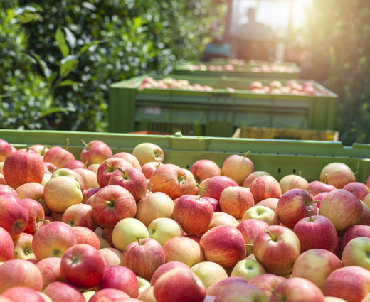 Freshly harvested apples in bins